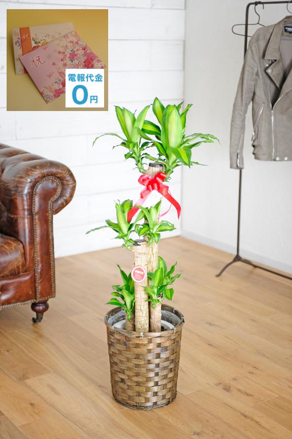 <p>別名「幸福の木」とも呼ばれる縁起の良い観葉植物「ドラセナ・マッサンゲアナ」・・・背丈もあり開店祝いなどのお祝い花として人気です。当店オリジナルの電報と一緒にしてお届け致します。</p>