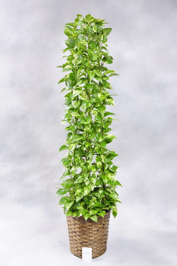 <p>光沢ある葉が美しい人気の観葉植物ポトス。</p>