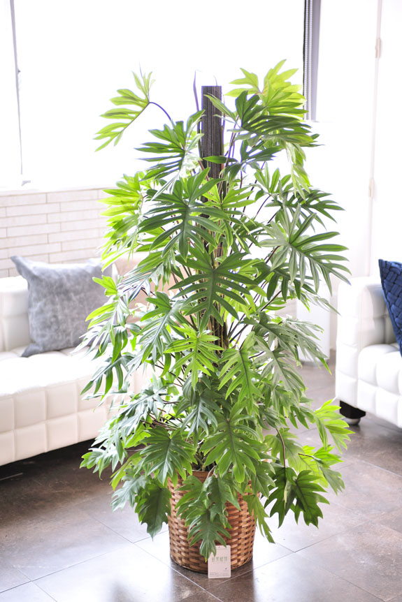 <p>ボリューム感のある観葉植物トサカカズラ。</p>