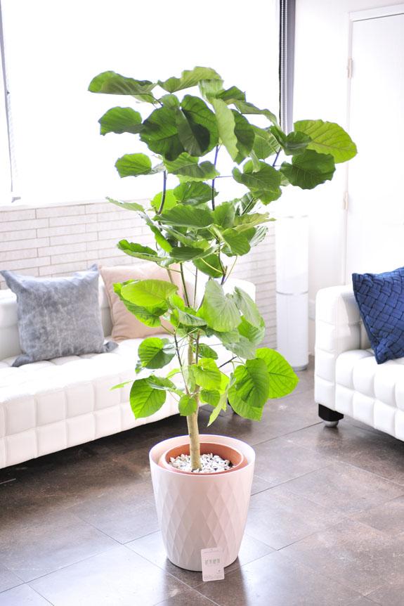 <p>ウンベラータはハート型の葉が目印です。</p>