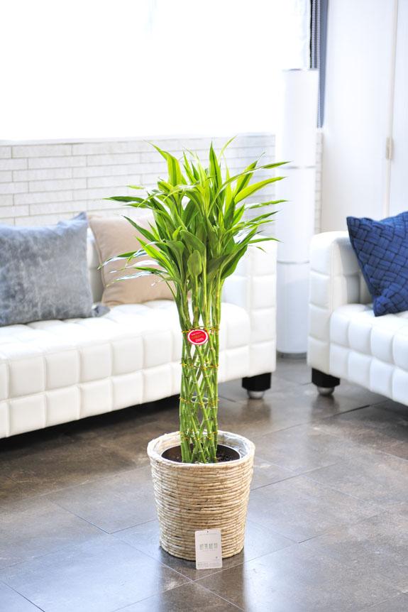 <p>ミリオンバンブー・ゴールドは竹のように見えて竹ではないが「幸運を呼ぶ竹」と呼ばれてます。</p>