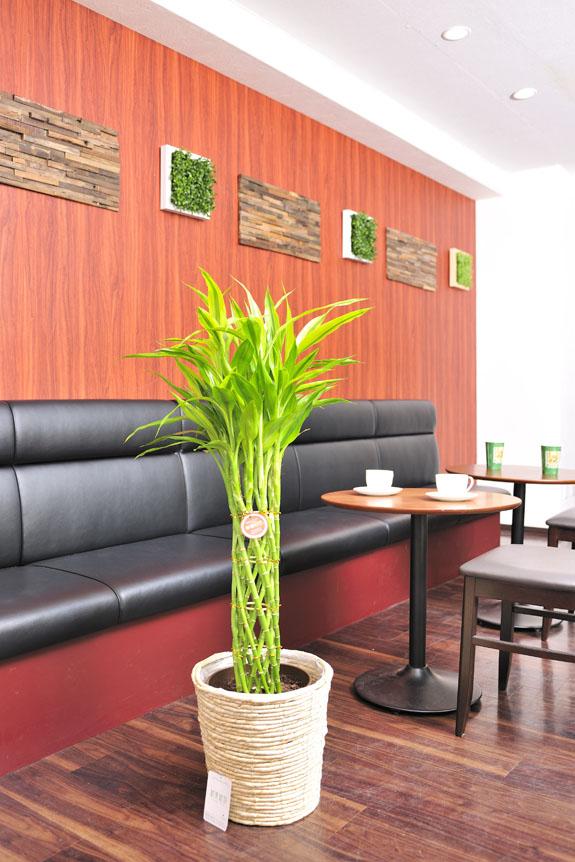 <p>お店も幸運を招くかも!?縁起の良い観葉植物ミリオンバンブー・ゴールド。</p>