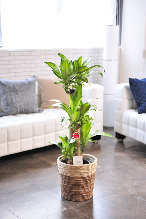 <p>「幸福の木」ドラセナ・マッサンゲアナはお部屋のインテリアとしてお楽しみいただけます。</p>
