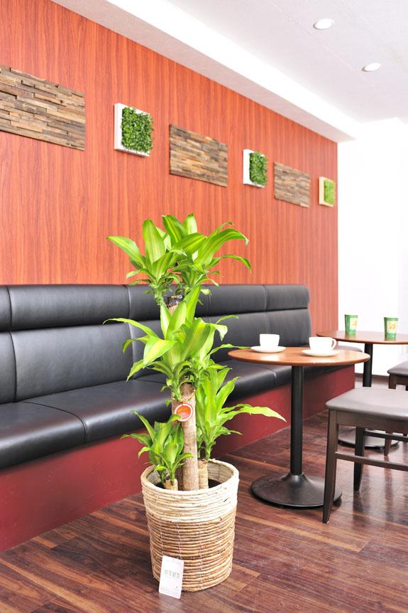 <p>縁起の良い植物なので、お店のインテリアとしてもドラセナ・マッサンゲアナは人気です。</p>