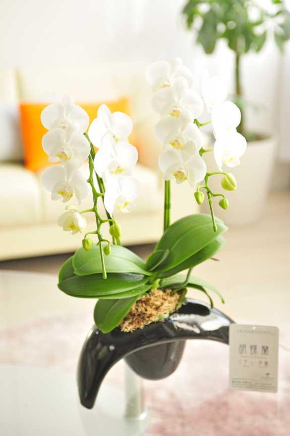 <p>ちょっと変わった陶器鉢にお仕立てしたお花は胡蝶蘭の持つ高級感と鉢の可愛らしさが融合したお祝い花と<br /> 言えるでしょう。</p>