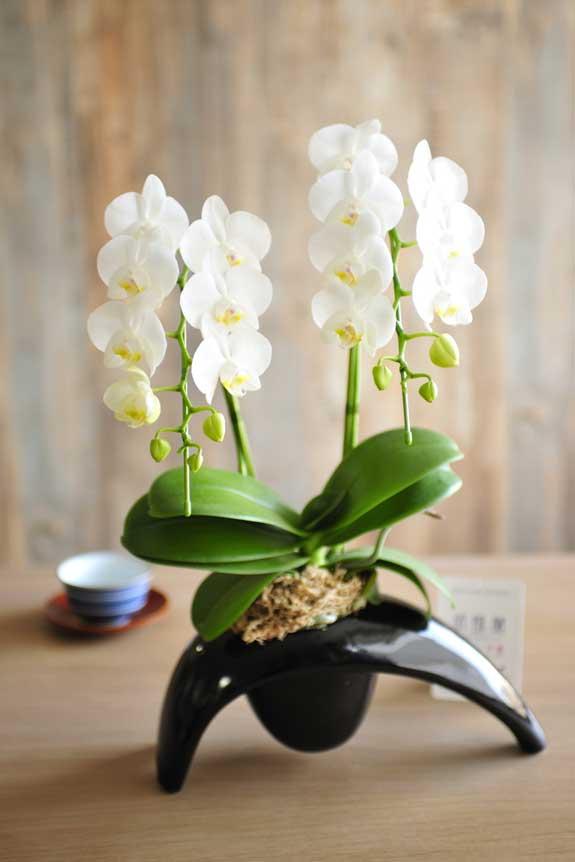 <p>お部屋に飾ると、目を引くインテリアしてもご利用頂ける、そんな胡蝶蘭ミディ2本立ちです。</p>