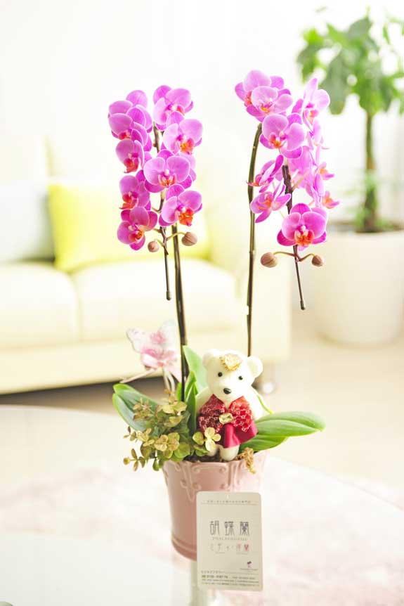 <p>胡蝶蘭ミディ2本立デコレレベアーはかわいさ溢れる一品。お祝い用のフラワーギフト、贈り物としてオススメです。</p>