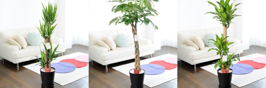 観葉植物・大型