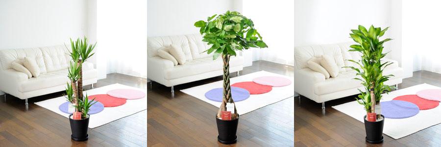 観葉植物・中型