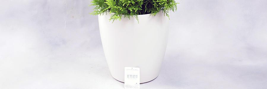 観葉植物・白丸鉢