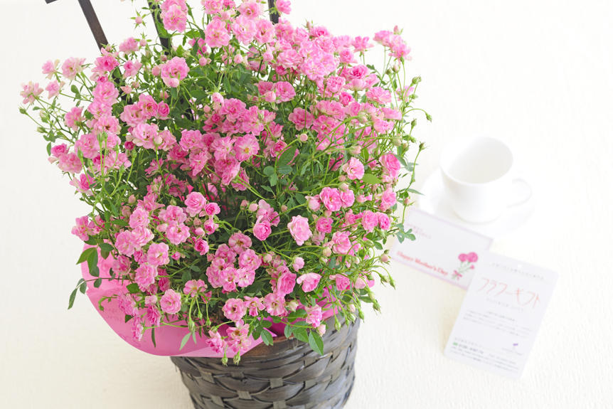 <p>生産農家から直送の国産ミニバラの鉢植は、小さくてかわいらしい花を沢山つけるのが特徴です。母の日の贈り物やプレゼントとして喜ばれるフラワーギフトになるでしょう。</p>