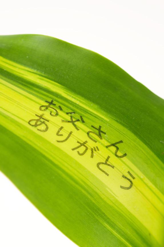 <p>幸福の木(ドラセナマッサンゲアナ)のメッセージ入り観葉植物には「お父さんありがとう」の父の日にピッタリのメッセージが印字されています。</p>