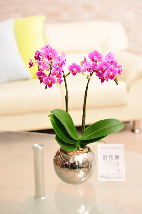 <p>ピンク系のかわいらしいお花が特徴の胡喋蘭ミディ 2本立 カララ</p>