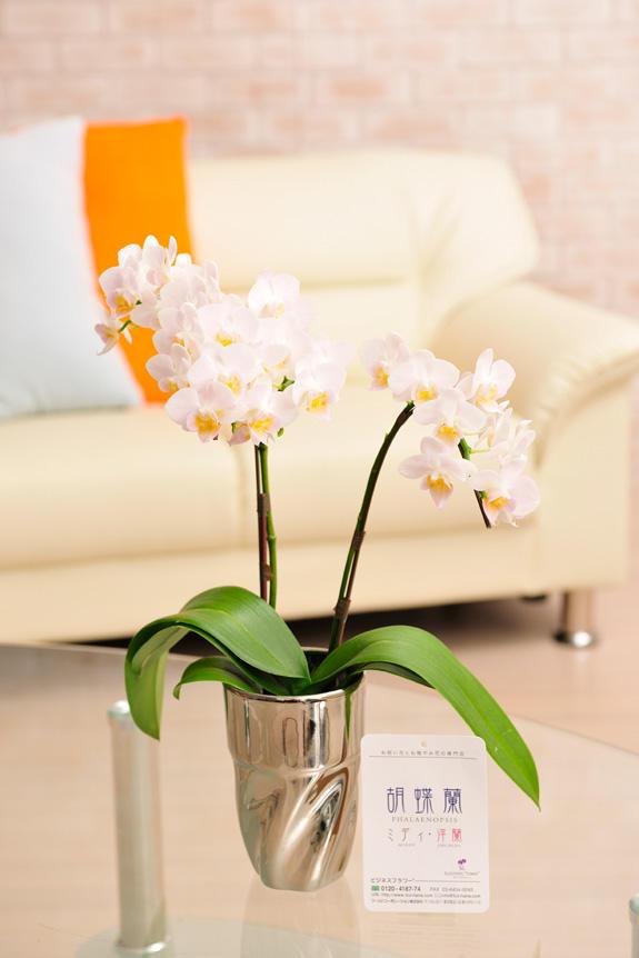 <p>銀色に輝くメタリック調のおしゃれなコップ型鉢に入ったかわいらしいお花が特徴の胡喋蘭ミディ 2本立 カララ</p>