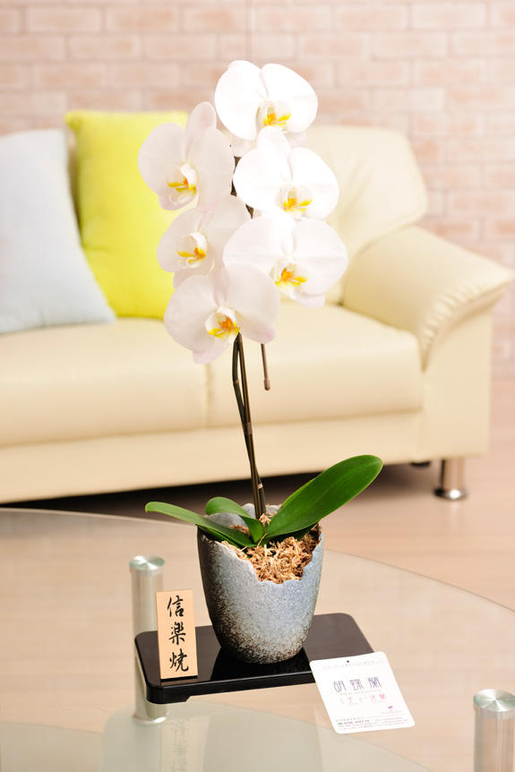 <p>1本立胡蝶蘭大輪を信楽焼鉢と組み合わせた和の上品な胡蝶蘭です。</p>