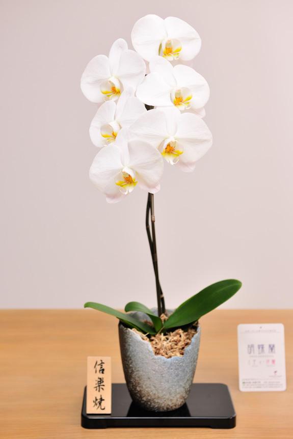 <p>胡蝶蘭大輪と信楽鉢の重厚感がギフトにオススメです。</p>