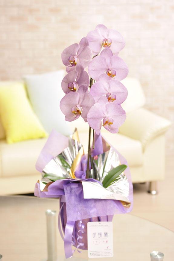<p>カラー胡蝶蘭 彩 - irodori - 1本立(紫)</p>