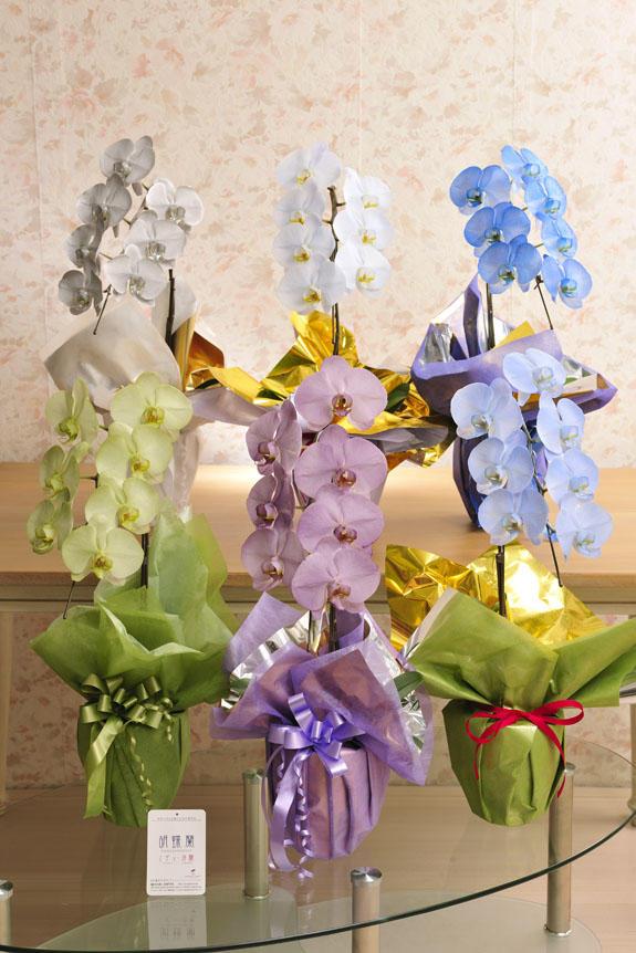 <p>カラー胡蝶蘭 彩 - irodori - 1本立(寒色系)より、お好きなカラーをお選びいただけます。<br /> 下段左より(1)緑 (2)紫 (3)ライトブルー 上段左より(4)シルバー (5)空色 (6)青</p>