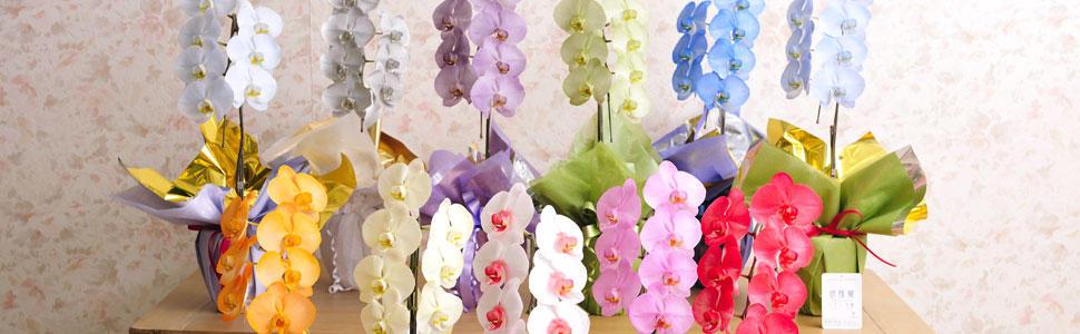 カラー胡蝶蘭