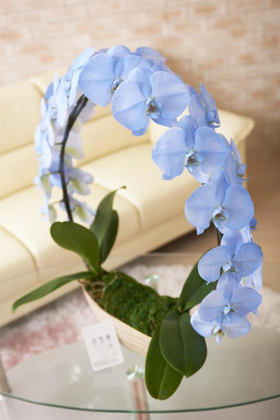 <p>丸みがあって立体的なフォルムのカラー胡蝶蘭彩(irodori)リングは、店舗やお部屋のインテリアとしてもご利用いただけます。</p>