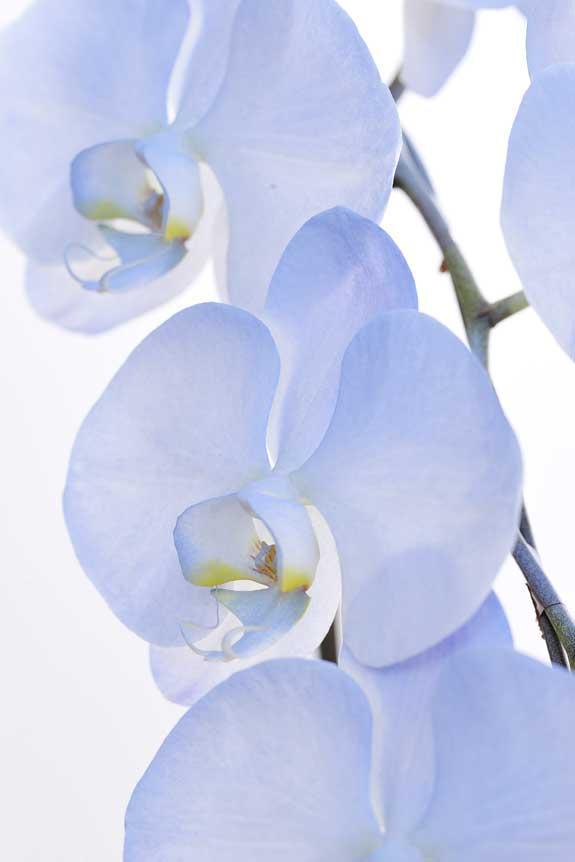 <p>鮮やかに色付けされたカラー胡蝶蘭彩(irodori)リングの花びらは、インパクトがあり美しい見た目が特徴です。</p>