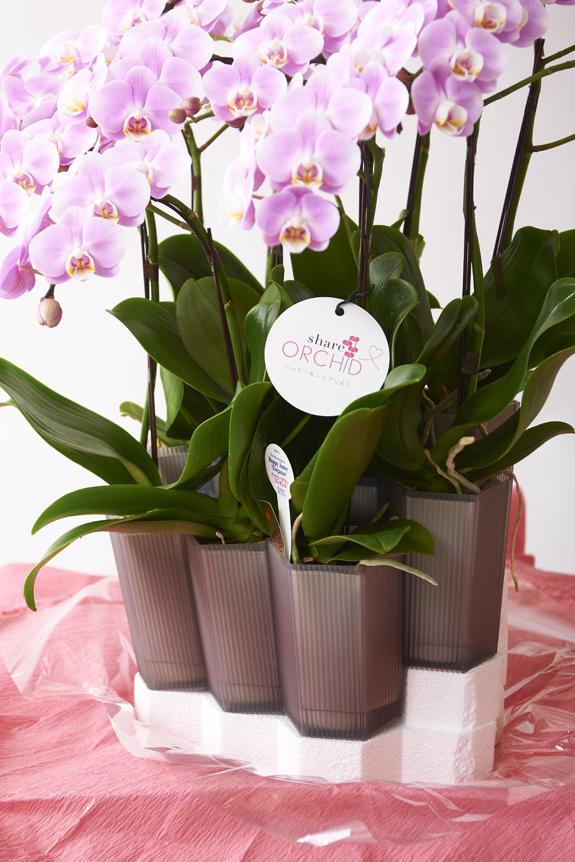 <p>一株ずつ丁寧に育てられたミディ胡蝶蘭が複数セットになったシェアオーキッド。</p>
