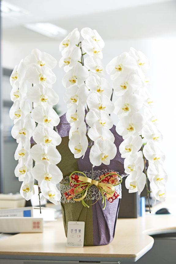 こだわりラッピング[和のココロ]胡蝶蘭 3本立(白)3万円コース