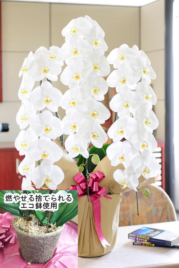 【燃やせる捨てられるエコ鉢使用】豪華胡蝶蘭3本立(白) 2万円コース