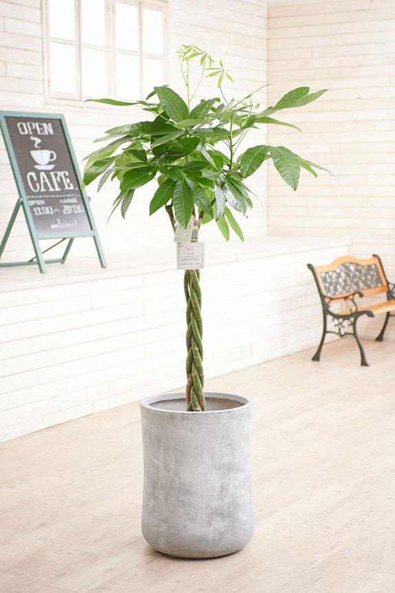 <p>硬質で重厚感を感じさせる鉢カバーが観葉植物パキラにお洒落さをプラスに演出します。</p>