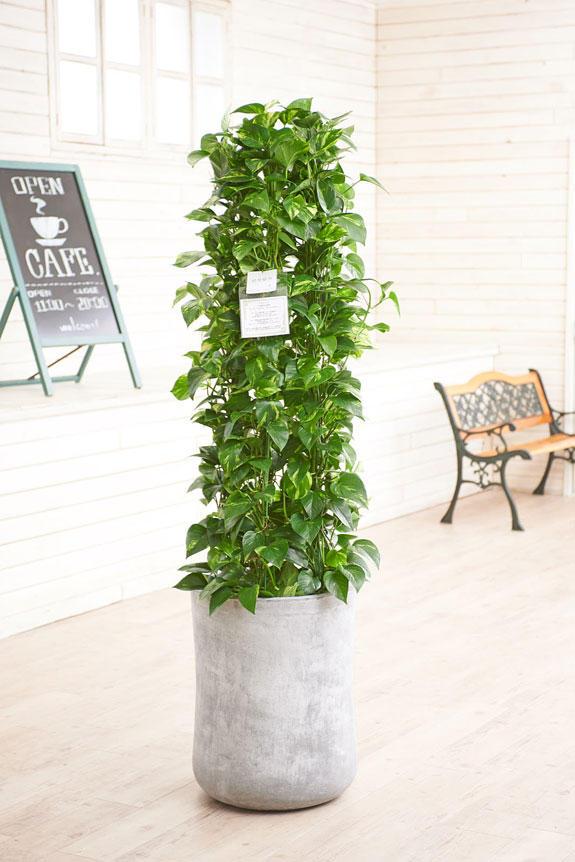 <p>硬質で重厚感を感じさせる鉢カバーが観葉植物ポトスにお洒落さをプラスに演出します。</p>