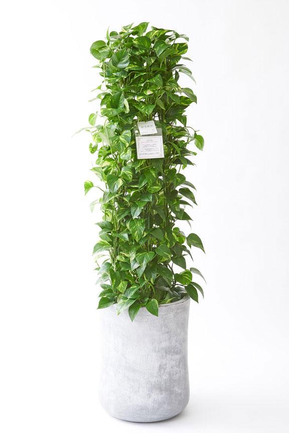 <p>人気の観葉植物に素敵なデザインのインテリア鉢カバーがセットになったお洒落な一品です。</p>