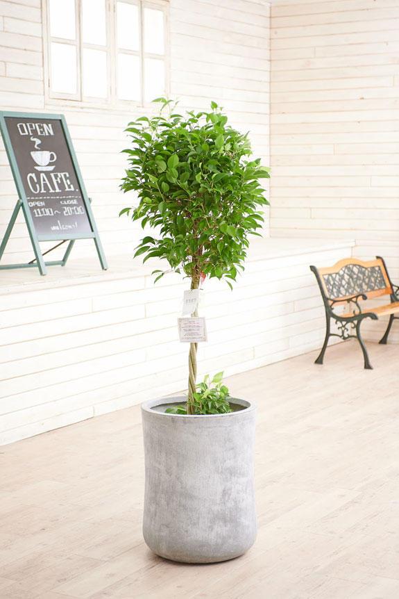<p>硬質で重厚感を感じさせる鉢カバーが観葉植物ベンジャミン・リッチ(ダブル)にお洒落さをプラスに演出します。</p>
