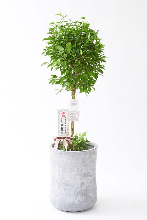 <p>お洒落な鉢カバー付きの観葉植物には、欧州より輸入したお洒落なリボンと、統一のデザインで高級感を演出するオリジナル立札と花言葉カードが無料で付いています。</p>