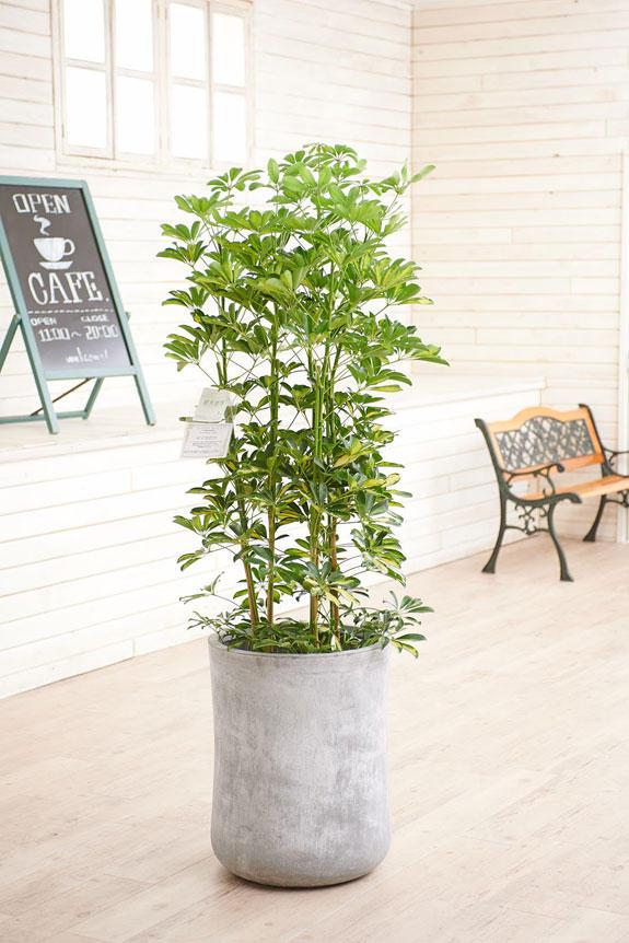 <p>硬質で重厚感を感じさせる鉢カバーが観葉植物シェフレラ(斑入りホンコン)にお洒落さをプラスに演出します。</p>