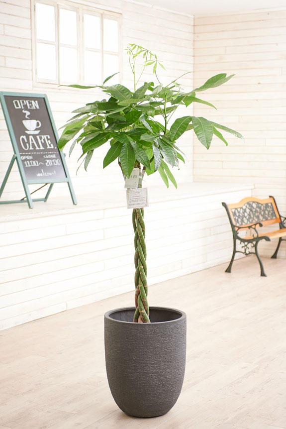 <p>高級感のある丸みを帯びた鉢カバーが観葉植物パキラにお洒落さをプラスに演出します。</p>