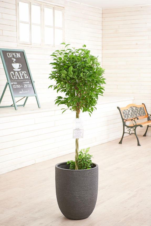 <p>高級感のある丸みを帯びた鉢カバーが観葉植物ベンジャミン・リッチ(ダブル)にお洒落さをプラスに演出します。</p>