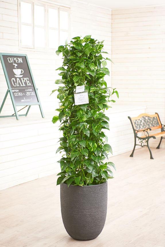 <p>高級感のある丸みを帯びた鉢カバーが観葉植物ポトスにお洒落さをプラスに演出します。</p>