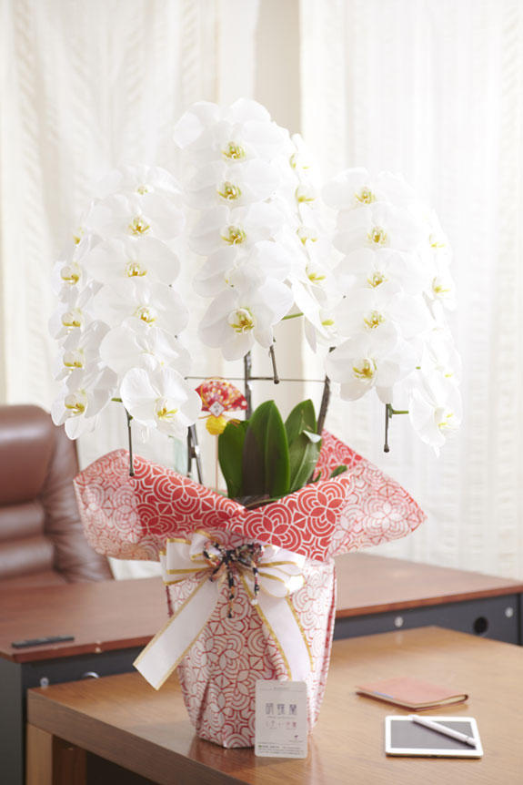 <p>オフィスや店舗に飾っていただいても存在感抜群のこだわりラッピング胡蝶蘭3本立(白)のお正月バージョン</p>