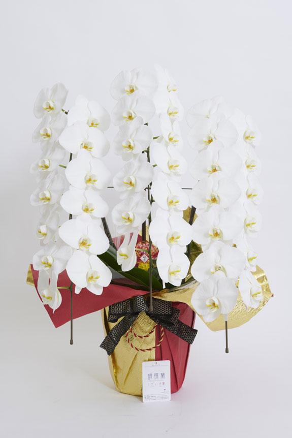 <p>安心の品質保証タグ付きのビジネスフラワー®の胡蝶蘭3本立(白)</p>
