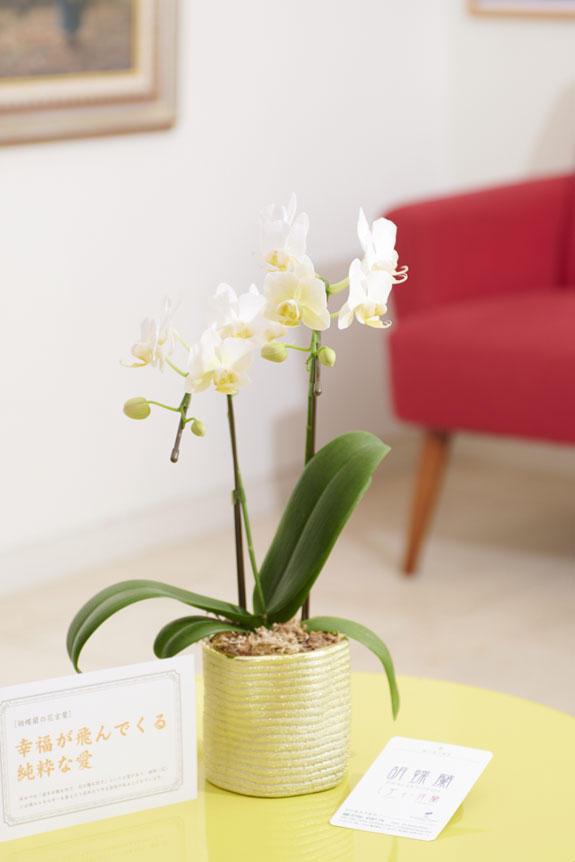 <p>マイクロサイズのミニ胡蝶蘭をキラリの花器に仕立てたフラワーギフトにお薦めの商品です。</p>