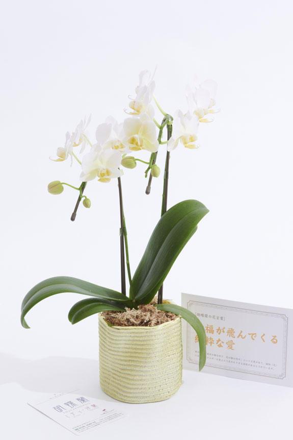<p>誕生日祝い、結婚祝い、出産祝い、退職祝い、長寿祝いなど、様々な個人のお祝い花としてお薦めしたいミニ胡蝶蘭です。</p>