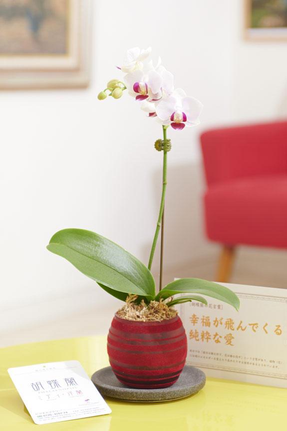 <p>マイクロサイズのミニ胡蝶蘭を豆蘭ガラスの花器に仕立てたフラワーギフトにお薦めの商品です。</p>
