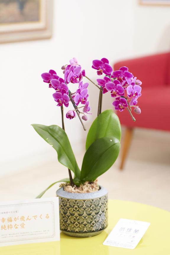 <p>マイクロサイズのミニ胡蝶蘭を胡蝶の花器に仕立てたフラワーギフトにお薦めの商品です。</p>