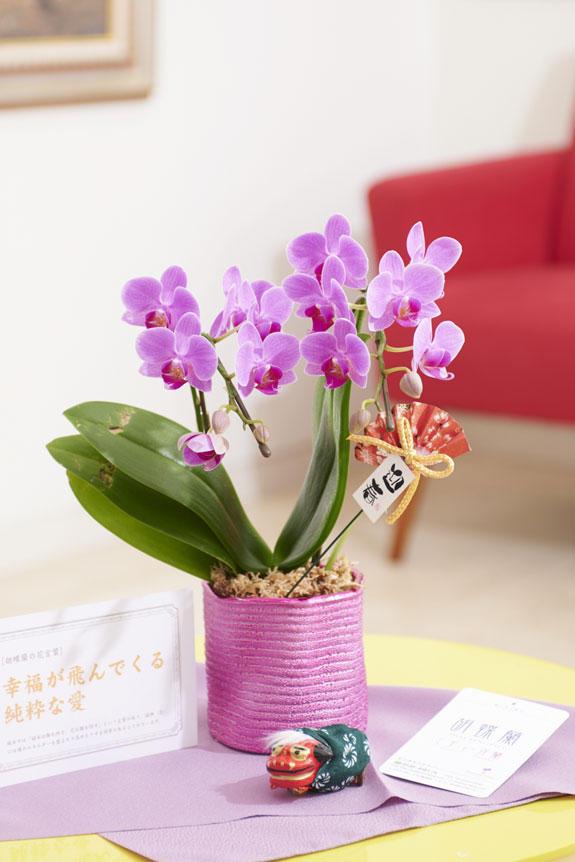 <p>マイクロサイズのミニ胡蝶蘭キラリと、正月を感じさせるピック&立ち獅子の飾り、風呂敷がセットになった迎春用の商品です。</p>