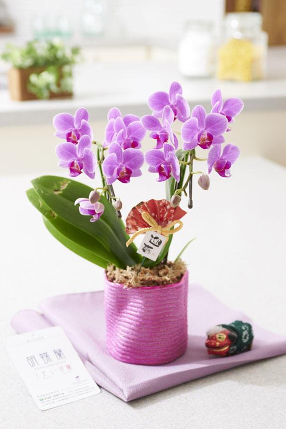 <p>お部屋に飾っていただくと正月の雰囲気が広がるミディ胡蝶蘭です。</p>