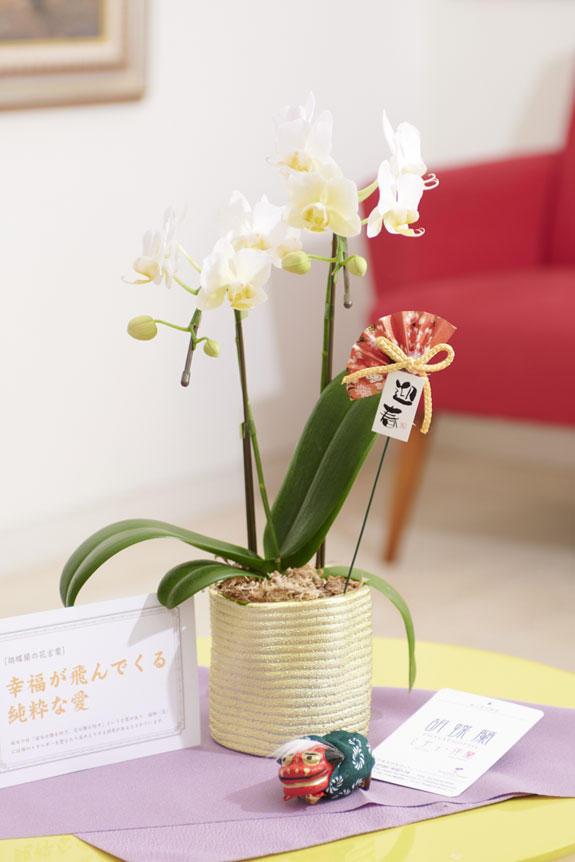 <p>マイクロサイズのミニ胡蝶蘭キラリと、正月を感じさせるピック&立ち獅子の飾り、風呂敷、花言葉カードがセットになった迎春用の商品です。</p>