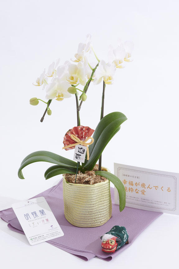 <p>切り花のアレンジメントフラワーや花束と違い、鉢植えの胡蝶蘭ミディは適切な管理さえすれば長い期間楽しめるのが特徴のお花です。</p>