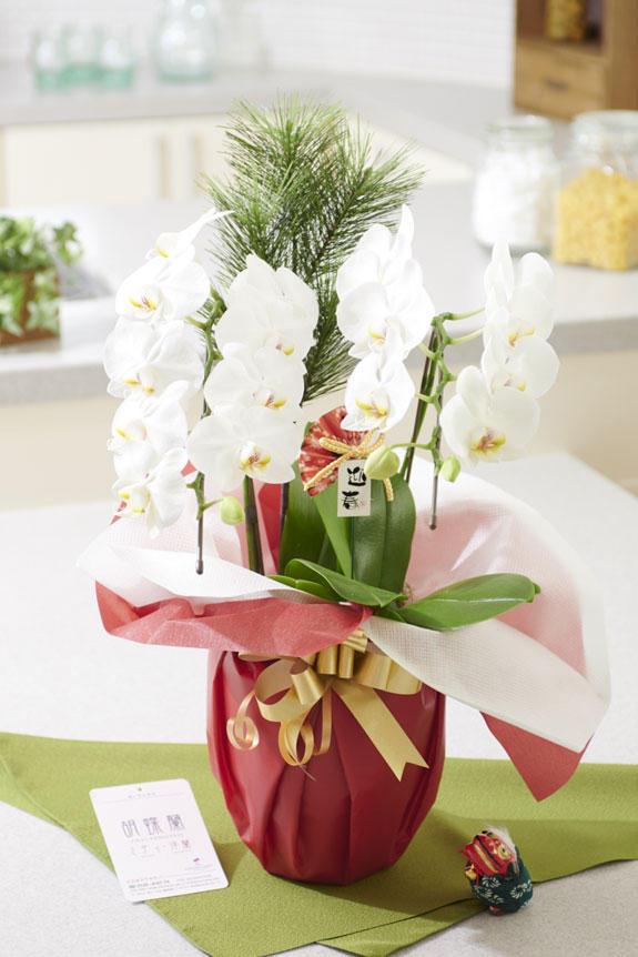 <p>正月のめでたさを感じさせる装飾とラッピング、リボンが特徴のミディサイズの胡蝶蘭です。</p>