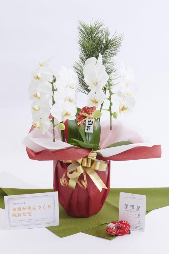 <p>松飾と胡蝶蘭の組み合わせで豪華さ、迎春ピックと立ち獅子で正月らしさを演出したミニ胡蝶蘭(胡蝶蘭ミディ)商品です。</p>
