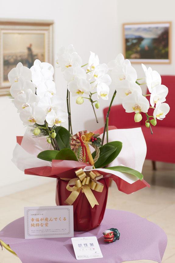 <p>胡蝶蘭ミディ(ミニ胡蝶蘭)と、正月を感じさせるピック&立ち獅子の飾り、風呂敷、松飾がセットになった迎春用の商品です。</p>